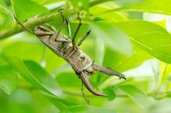Coléoptères de mâle (Lucanidae) Photos libres de droits