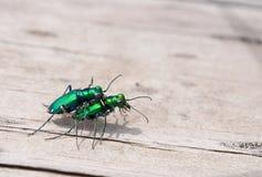 coléoptères de tigre Six-repérés Images stock