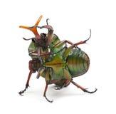 Coléoptères flamboyants de combat de fleur Image libre de droits