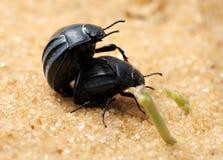 Coléoptères sombres sur le sable Photographie stock