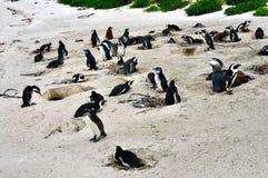 Colônia africana dos pinguins na praia dos pedregulhos fotografia de stock royalty free