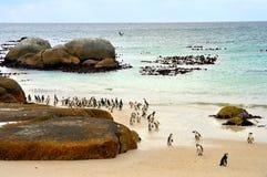 Colônia africana dos pinguins na praia dos pedregulhos imagens de stock royalty free