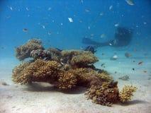 Colônia coral pequena imagem de stock