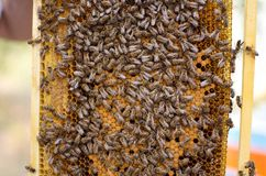 Colônia da abelha nos favos de mel Apicultura e mel da obtenção hive fotografia de stock