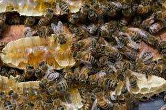 Colônia de Honey Bees Fotografia de Stock