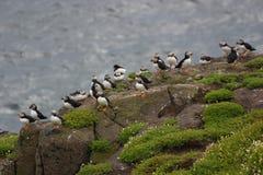 Colônia de papagaio-do-mar bonitos Imagens de Stock Royalty Free