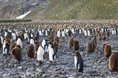 Colônia de pinguins de rei - adultos e downies fotos de stock