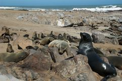 Colônia de selo na praia Fotografia de Stock Royalty Free