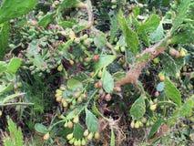 Colônia densa da pera espinhosa, fruto de amadurecimento e espinhos afiados foto de stock