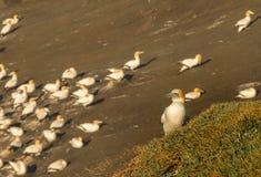 Colônia do albatroz de Muriwai, parque regional de Muriwai, perto de Auckland, ilha norte, Nova Zelândia fotografia de stock royalty free