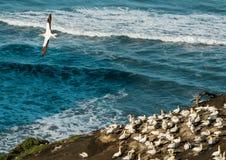 Colônia do albatroz de Muriwai, parque regional de Muriwai, perto de Auckland, ilha norte, Nova Zelândia foto de stock
