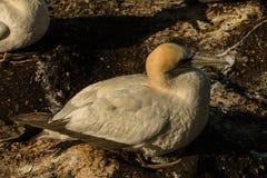 Colônia do albatroz de Muriwai, parque regional de Muriwai, perto de Auckland, ilha norte, Nova Zelândia imagem de stock royalty free