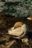 Colônia do albatroz de Muriwai, parque regional de Muriwai, perto de Auckland, ilha norte, Nova Zelândia fotos de stock royalty free