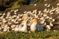 Colônia do albatroz de Muriwai, parque regional de Muriwai, perto de Auckland, ilha norte, Nova Zelândia foto de stock royalty free