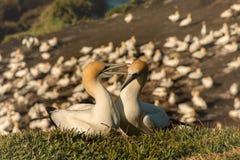 Colônia do albatroz de Muriwai, parque regional de Muriwai, perto de Auckland, ilha norte, Nova Zelândia fotografia de stock