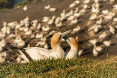 Colônia do albatroz de Muriwai, parque regional de Muriwai, perto de Auckland, ilha norte, Nova Zelândia fotos de stock