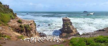 Colônia do albatroz em Muriwai perto de Auckland, Nova Zelândia fotos de stock