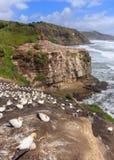 Colônia do albatroz em Muriwai perto de Auckland, Nova Zelândia foto de stock royalty free