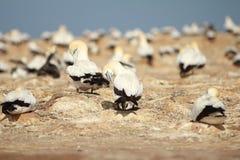 Colônia do albatroz em raptores do cabo foto de stock