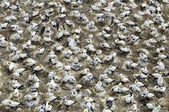 Colônia do albatroz na praia de Muriwai, Nova Zelândia foto de stock