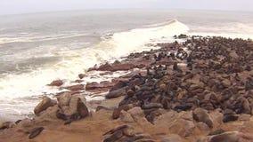 Colônia do Arctocephalus Pusillus dos lobo-marinhos do cabo na praia de Oceano Atlântico, costa de esqueleto, Namíbia vídeos de arquivo