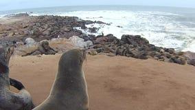 Colônia do Arctocephalus Pusillus dos lobo-marinhos do cabo na praia de Oceano Atlântico, costa de esqueleto, Namíbia filme