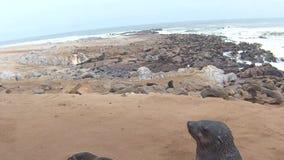 Colônia do Arctocephalus Pusillus dos lobo-marinhos do cabo na praia de Oceano Atlântico, costa de esqueleto, Namíbia video estoque