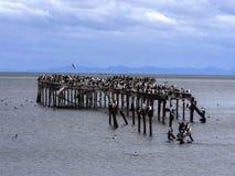 Colônia do cigarro picado imperial, atriceps do Phalacrocorax, na costa de Punta Arenas, Patagonia, o Chile imagens de stock royalty free