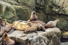 Colônia do jubatus na rocha, Rússia do Eumetopias dos leões de mar, Kamchatka, cabo próximo Kekurny, baía do russo foto de stock royalty free