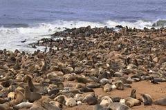 Colônia do lobo-marinho do cabo - Namíbia Foto de Stock