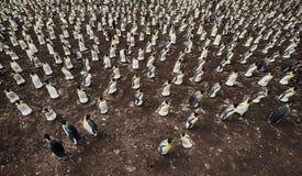 Colônia do patagonicus do Aptenodytes dos pinguins de rei de cima de fotografia de stock royalty free