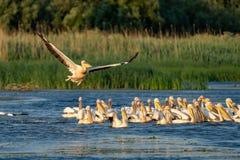 Colônia do pelicano com os grandes pelicanos brancos e o Pelic Dalmatian Fotografia de Stock