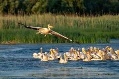 Colônia do pelicano com os grandes pelicanos brancos e o Pelic Dalmatian Foto de Stock Royalty Free
