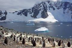 Colônia do pinguim de Gentoo, Continente antárctico imagem de stock royalty free