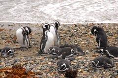 Colônia do pinguim de Seno Otway - Patagonia o Chile Fotografia de Stock