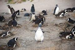 Colônia dos pinguins fotos de stock royalty free