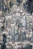 Colônia dos pinguins que escalam à parte superior do ártico da montanha foto de stock