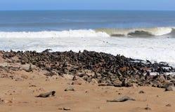 Colônia dos selos na reserva da cruz do cabo, Namíbia Foto de Stock Royalty Free