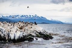 Colônia em uma ilha em Ushuaia no passo do lebreiro do canal do lebreiro, Tierra Del Fuego do cormorão, Argentina imagem de stock