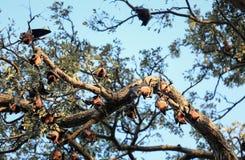 Colônia indiana do giganteus do Pteropus da raposa de voo que pendura da árvore, Sri Lanka fotografia de stock royalty free