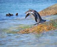 Colônia mais corajosa do pinguim fotografia de stock