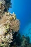 Colônia pequena do coral atado esplêndido do ventilador. fotografia de stock