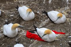 Colônia selvagem do albatroz na costa de Muriwai em Nova Zelândia foto de stock