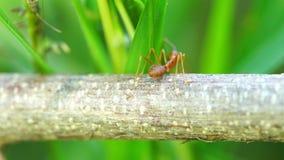 Colônia vermelha da formiga no ramo vídeos de arquivo