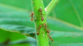 Colônia vermelha da formiga no ramo video estoque