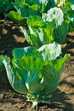 Col blanca vegetal Foto de archivo