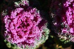 Col, col floreciente, col rizada ornamental Fotografía de archivo libre de regalías
