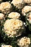 Col, col floreciente, col rizada ornamental Imágenes de archivo libres de regalías