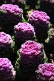 Col, col floreciente, col rizada ornamental Imagen de archivo