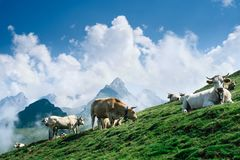 Col d`Aubisque. Cows posing in a mountain top Stock Image